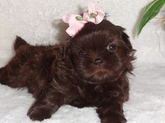 This is our AKC Liver (Chocolate) Shih Tzu named Coco when she was only 5 weeks old! www.akchocolateshihtzus.com or 903-520-7659 call or text if you want a puppy like this!