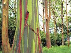 According to When On Earth, these eucalyptus trees are from the Philippines, Papua New Guinea, and Indonesia.
