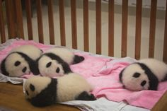 Panda Cubs in a crib. AWWW. China: Chengdu. Image from The Image Maker Blog.