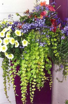 Container Gardening Ideas Container Garden ideas, creeping jenny is a great container choice and is hardy in zones and 6 Outdoor Flowers, Outdoor Plants, Outdoor Gardens, Backyard Plants, Potted Plants, Container Flowers, Container Plants, Container Gardening, Beautiful Gardens