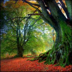 Ancient Beech Tree, Kinclaven, Scotland ~Back to Nature Beautiful World, Beautiful Places, Beautiful Forest, Romantic Places, All Nature, Amazing Nature, Tree Forest, Magical Forest, Magical Tree