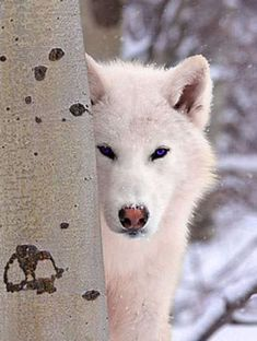 pictures of white wolves | White Wolf Von Atzingen Interview
