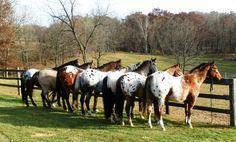 Home - Sunset Ranch Appalooas