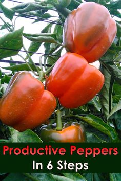 Quiet Corner:Productive Peppers In 6 Steps - Quiet Corner There are few plants in the garden more satisfying to grow than peppers. This article will walk you through 6 Productive Steps to help you reap your best pepper crop ever. Fruit Garden, Edible Garden, Herb Garden, Vegetable Garden, Growing Herbs, Growing Vegetables, Organic Gardening, Gardening Tips, Kitchen Gardening