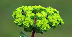 Sütleğen Bitkisinin Özellikleri Diğer isimleri Sütlücen, Sütlüceotu, Euphorbia, Spurge, Euphorbe olan Sütleğengiller familyasından, süt gibi beyaz ve zehirli bir özsuyu taşıyan, çok yıllık, otsu veya bir bitkidir. Yurdumuzda 60 kadar çeşidi vardır. Sütleğen tohumu yağ açısından zengindir. Sütleğen öz suyu ise reçine ve nişasta içerir. Sütleğen bitkisi sütünün ayak mantarı hastalığının tedavisiüzerine olan antiseptik etkisinin […]