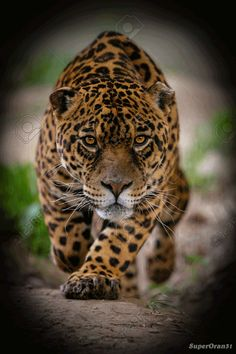 "ultrawolvesunderthefullmoon: ""The Leopard Spirit of Themiscyra "" follow www.joselito28.tumblr.com"