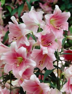Valkolilja Pink Heaven - Viherpeukalot