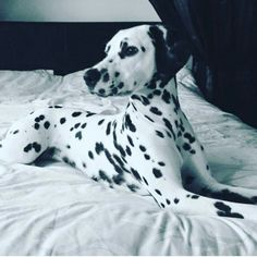 Very majestic picture! Credit to @rylieanneandlucylou by dalmatians_of_instagram #lacyandpaws