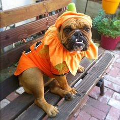 Susan the Pumpkin with an underbite! English Bulldog. Funny Dog. Happy Belated Halloween!