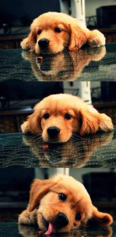 My heart just melted I've always wanted a golden retriever like this one