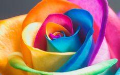 Rainbow Rare Rose Seeds Exotic Rose Flower Seeds by S4 Wallpaper, Flower Wallpaper, Wallpaper Awesome, Cheap Wallpaper, Summer Wallpaper, Beautiful Wallpaper, Computer Wallpaper, Colorful Wallpaper, Wallpaper Downloads