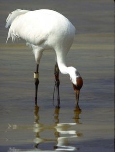 Whooping Crane - Reflection