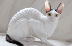 20 Fun Facts You Didn't Know about the Cornish Rex cat cute Cute Cats And Kittens, Kittens Cutest, Sphynx, Cornish Rex Cat, Devon Rex, Cute Cat Breeds, Cat Facts, T Rex, Beautiful Cats