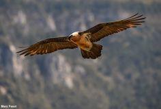 Journée de prospection Gypaète barbu en Haute-Savoie le 20/02   Photographie de Marc Fasol : Gypaète barbu (Gypaetus barbatus) en Catalogne au printemps 2015. #ornithologie #oiseaux #nature