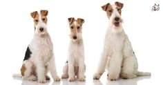 Did you know theese details about our  #Fox_Terrier puppies? Click the Link or the image now and learn everything about them ;) http://puppies4all.com/fox-terrier-puppies-for-sale/ #dog #doglover #puppy #p4a#puppies #dogs #adorable #lovely #funny #loyal #breeds;