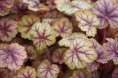 Heuchera 'Circus' PP25,495 -  Coral Bells  This Heuchera is non-stop excitement for your shaded rock garden. Dark veining remains throughout the seasons but foliage changes from green, in spring, to shades of yellow, pink and topaz. Rosy-red blooms are a bonus!