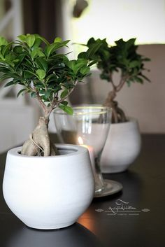Ficus Ginseng: Water when the soil gets slightly dry. Likes sunny spots.