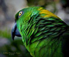 Yellow Naped Amazon Parrot.