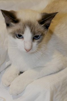 Dax is a Snowshow/Siamese kitten in Sanford, FL.  Dax is good with other cats, dogs and children, and he's hoping for a forever home for the holidays!