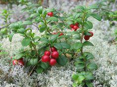 Vaccinium vitis-idaea - Wikipedia
