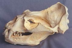 elephant seal skull - Google Search