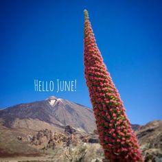 webtenerife.com, Tenerife, Teide. Hola Junio. Tajinaste, planta endémica en el parque nacional del pico más alto de España. // Hello June. Tower of jewels, endemic plant growing at the Mount Teide National Park, the highest peek of Spain. // Hallo Juni. Der Teide-Natternkopf, eine endemische Pflanze, die im Teide-Nationalpark wächst, dem höchsten Berg Spaniens.