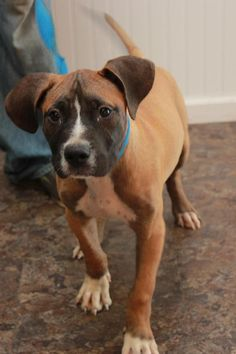 Koda - URGENT - CHRISTIAN COUNTY ANIMAL SHELTER in Hopkinsville, Kentucky - ADOPT OR FOSTER - 4 MONTH OLD Male Mountain Cur/Boxer Mix