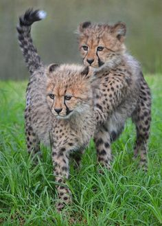 "* * CHEETAH IN FRONT: "" Getz off me back; I iz concentratin'."" OTHER CHEETAH: "" I can'ts. I iz coward ! """