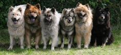 Eurasiers - I'll take that wolf grey one 3rd from the right pleaze! ;D