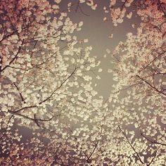 【chii_pics】さんのInstagramをピンしています。 《雨の日の桜  #kyotobotanicalgarden #botanicalgarden #followalways #slr #slrcamera #canon #instapics #upwardview #bottomview #view #kyoto #japan #kitayama #cherryblossom #flowers #spring  #京都植物園 #京都 #植物園 #北山 #桜 #さくら #お出かけ #お花 #季節 #春 #写真好きな人と繋がりたい#カメラ友達募集》
