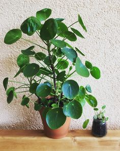 The mom and the baby! #pilea