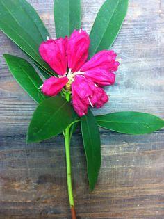 Flowering Rhodo