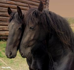 """says """"horses, took the photo in Alvdal, Norway-"""" Gregory Traci Gregory says, how fast can I get a ticket to there? Majestic Horse, Beautiful Horses, Animals Beautiful, Farm Animals, Cute Animals, Barrel Racing Horses, Icelandic Horse, Old Norse, Black Horses"""