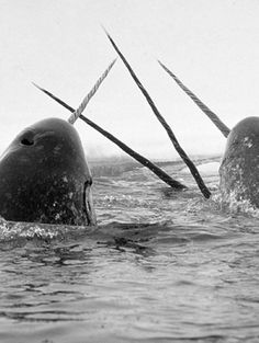 Narwhals. OMG THESE ARE REAL?! WHY DID NO ONE TELL ME?!
