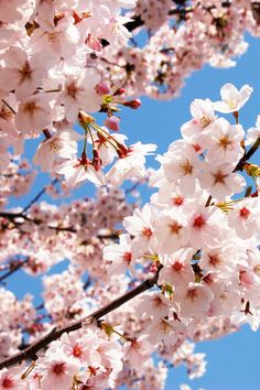 Cherry Blossom Wallpaper, Flowery Wallpaper, Sakura Cherry Blossom, Flower Phone Wallpaper, Scenery Wallpaper, Flower Images Wallpapers, Beautiful Flowers Wallpapers, Flowers Nature, Love Flowers