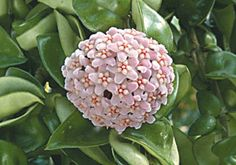 Hindu Rope Plant 'Crispa' (Hoya carnosa) This plant brings a unique vitality to a home's interior. Its structure is unusual, with weeping stems which are covered by tightly-held convoluted leaves that resemble a rope. Unlike many hoyas, this Hoya Plants, Big Plants, Types Of Plants, Tropical Plants, Indoor Plants, Flowering Plants, Hindu Rope Plant, Plants For Sale Online, Plants For Hanging Baskets