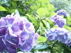 ajisai@kamakura  Japan is rainy season.There is a flower blooming during this season...beautiful colors.