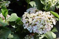10 Popular Types of Hydrangeas - Growing Tips & Photos   Green and Vibrant Hydrangea Tree, Hydrangea Shrub, Limelight Hydrangea, Climbing Hydrangea, Hydrangea Macrophylla, Big Flowers, Colorful Flowers, Flower Colors, Shrubs For Sale