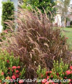 Red Fountain Grass (Pennisetum setaceum Rubrum) Sometimes called Purple Fountain Grass, this favorite grows to 5 to 7 feet - or buy the dwarf variety that only gets 3 to 4 feet tall.   Dark maroon-red ribbon-like leaves are topped with with purple-beige plumes.