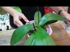 Cómo cuidar orquideas phalaenopsis - YouTube