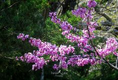 Redbud in front of an evergreen. #treephotography #redbud  #Outdoorphotography #jw_snapshots #jwvisuals #nature #naturephotography #getoutandshoot #focus