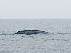 Blue Whale photographed in English waters for first time, off Cornish coast | Fowey | The Cormorant Hotel and Restaurant