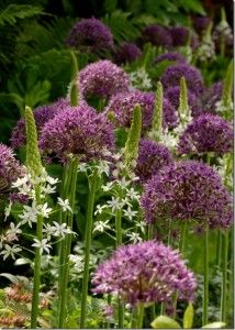 Choosing the best Alliums Now is the time to buy and plant the bulbs of alliums, the ornamental onions. By now all that remains of last years flowers are the curiously beautiful parchment spherical seedheads. These are made up of the remains of hundreds of tiny capsules releasing black seeds...
