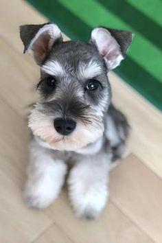 Miniature Schnauzer Black, Miniature Schnauzer Puppies, Schnauzer Puppy, Standard Schnauzer, Schnauzers, Baby Puppies, Cute Puppies, Cute Dogs, Dogs And Puppies