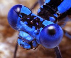 Argia vivida Damselfly. Photo by Thomas Shahan with reversed lens setup.