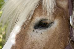 Homemade Fly Spray for Horses Using Tea Tree Oil. It sounds like a good coverall bases and it's natural and inexpensive Home Remedies For Flies, Homemade Fly Spray, Fly Spray For Horses, Dog In Spanish, Fly Control, Pest Control, Mosquito Spray, Dog Boarding Near Me, Fly Repellant