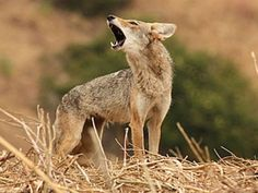 Coexisting with Coyotes, Oakdale Police Department Offers Tips ...