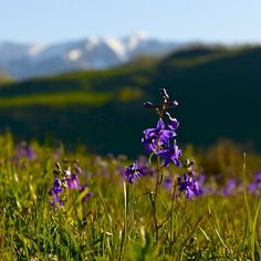 #nofilter #wildflowers are showing up. After plenty of moisture this spring, they're going to be great! #crestedbutte #wildflowercapitalofcolorado @crestedbuttewildflowerfestival Photo: Chris Segal