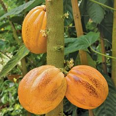 Theobrama Cacao - growing your own chocolate! Logee's has the most wonderful plants.