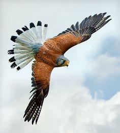 """A European Kestrel: """"In-Flight."""""""